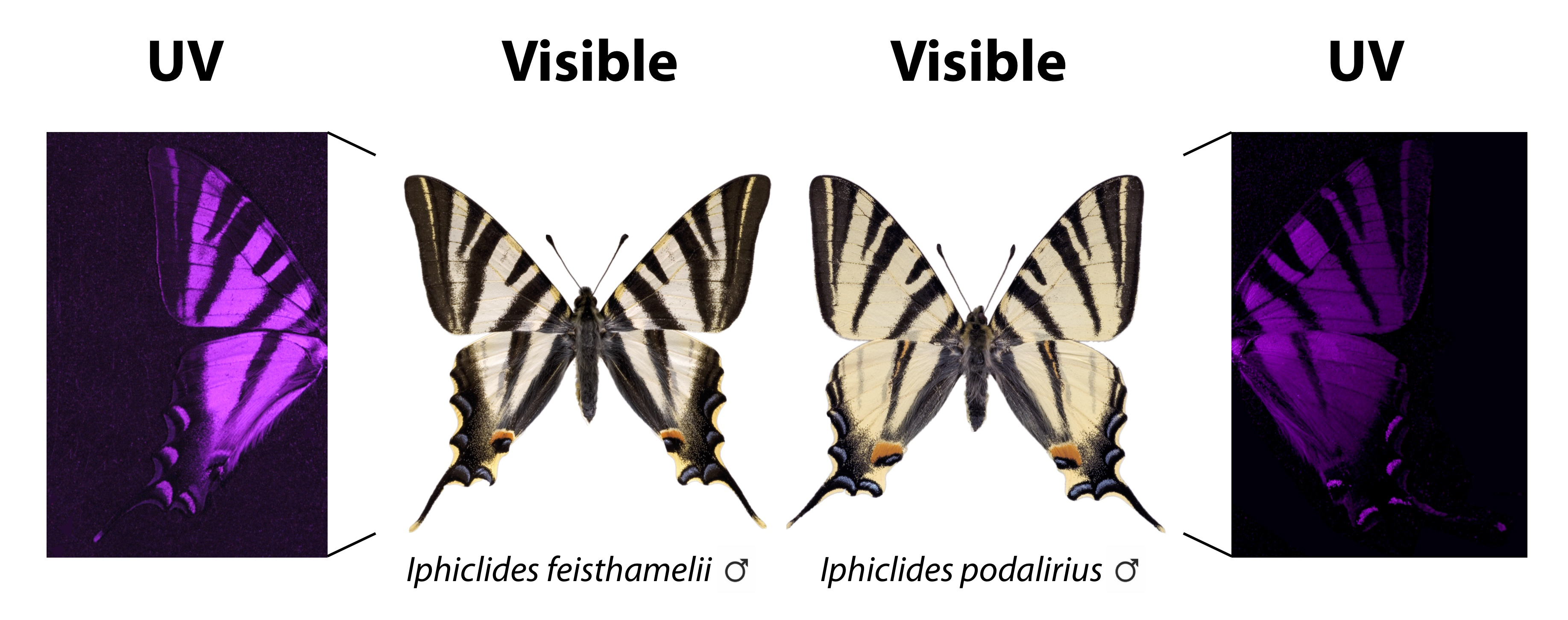 Images of southern scarce swallowtail butterfly (left) and scarce swallowtail (right) obtained with visible and UV photography. The subtle differences in the visible pattern of the wing become surprisingly evident with UV photography. Credit: Vlad Dinca