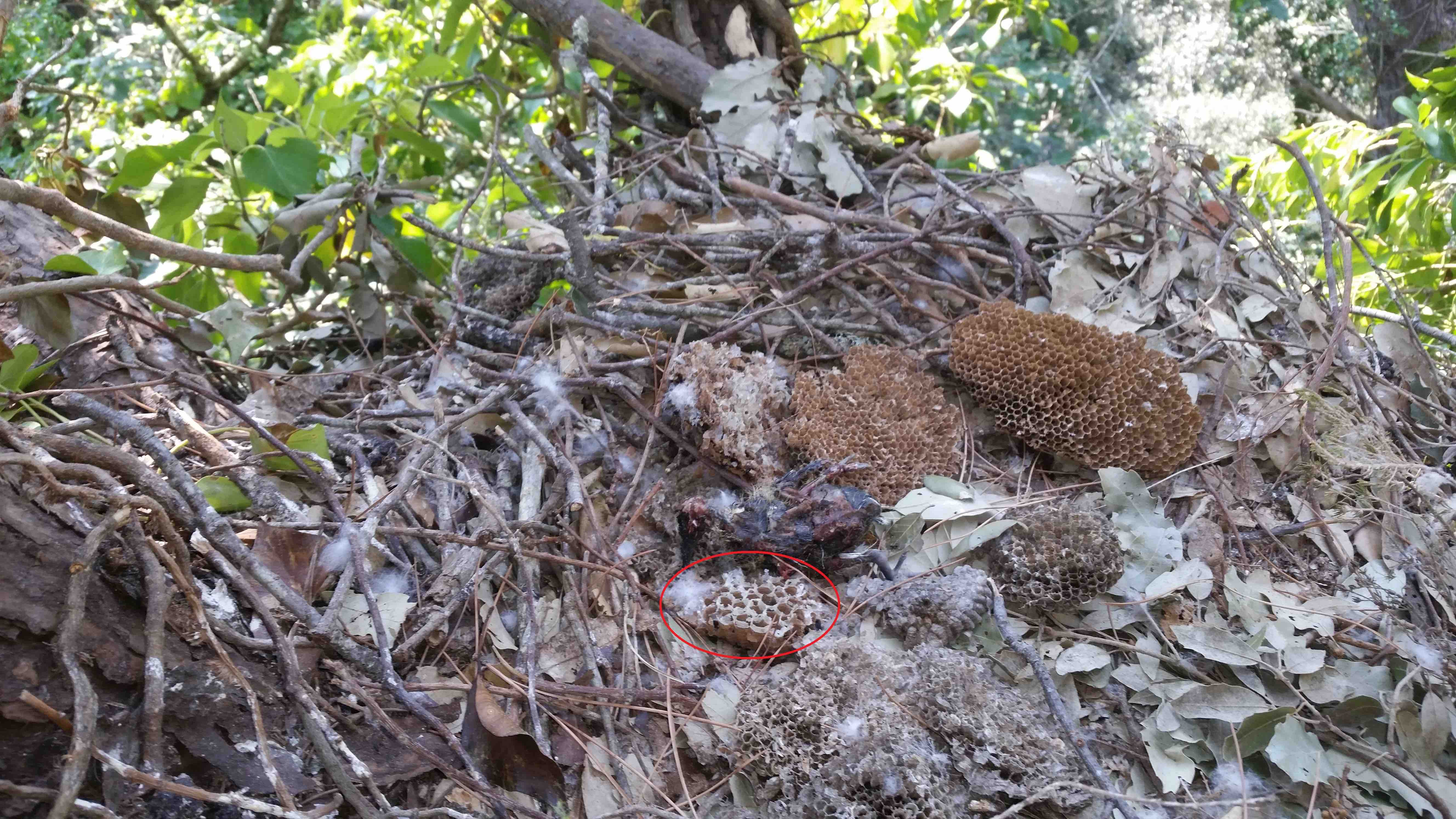 Image of the interior of a European Honey Buzzard nest, where a fragment of Asian Hornet nest is found. Credit: J. Grajera.
