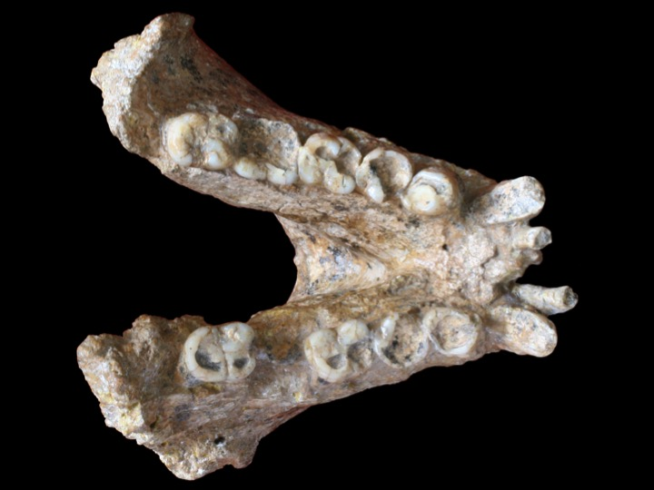 Gigantopithecus blacki mandible (P1-M2=74mm). Credits: Photo: Prof. Wei Wang; Photo retouching: Theis Jensen.